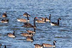 Black Swan (Cygnus atratus) with Canada Goose (Branta canadensis) (BiteYourBum.Com Photography) Tags: uk greatbritain england canada black apple swan westsussex unitedkingdom goose gb blackswan canonef1740mmf4lusm canadagoose brantacanadensis cygnusatratus allrightsreserved chichester brackleshambay ipad rspb focusstacking macpro canonefs60mmf28macrousm biteyourbum sidlesham earnley medmerry canoneos7d appleipad lrenfuse dawnandjim canonspeedlite430exii manhoodpeninsula sigma50500mmf4563dgoshsm loweproprorunner350aw lightroom5 biteyourbumcom dawnjim camranger rspbmedmerry copyright©2015biteyourbumcom copyright©biteyourbumcom