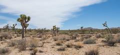 Desert - Joshua Tree National Park - California - 11 July 2015 (goatlockerguns) Tags: california park county cactus usa tree nature nationalpark desert riverside natural joshua unitedstatesofamerica socal national nationalparks