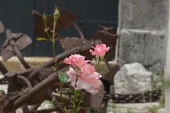 Rose di maggio alla tonnara di Scopello (costagar51) Tags: italy italia natura sicily fiori piante sicilia trapani castellammaredelgolfo scopello anticando contactgroups