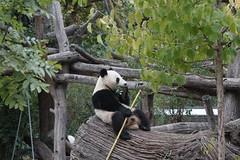 2-year-old Fu Bao (福豹) 2015-09-24 (kuromimi64) Tags: vienna wien bear zoo austria österreich europe panda giantpanda 動物園 パンダ ウィーン tiergartenschönbrunn 熊 熊猫 オーストリア ヨーロッパ viennazoo クマ 大熊猫 fubao schönbrunnzoo schoenbrunnzoo ジャイアントパンダ 福豹