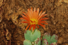 18 octobre 2015 - Conophytum bilobum (cauliferum) (Mafate79) Tags: fleur plante 2015 aizoaceae mesembryanthemaceae mesemb conophytum conophytumbilobum bilobum mesembryanthemaces aizoaces aizoace cauliferum mesembryanthemace conophytumbilobumcauliferum conophytumcauliferum sectionbiloba