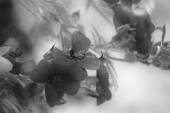 09/10/2015 (andré betron) Tags: old bridge boy portrait sky naturaleza plant flores flower blancoynegro nature monochrome night clouds dark kid flora nikon noir shine sad branches blues shade noise monocromatico p510 redskinbill