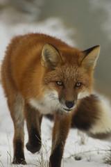 Determined Fox (Explored) (Dan King Alaskan Photography) Tags: alaska walking fox deadhorse redfox prudhoebay sigma80400mm canon50d