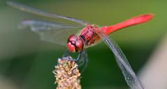 Blutrote Heidelibelle, Sympetrum sanguineum (staretschek) Tags: heidelibelle sympetrumsanguineum blutroteheidelibelle segellibelle rotelibelle