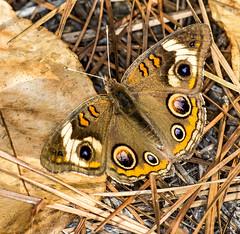 Dorsal (ScreaminScott) Tags: butterfly buckeyebutterfly