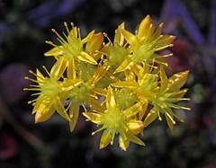 Pacific Stonecrop (Sedum spathulifolium) (Ron Wolf) Tags: california flower nature yellow nationalpark sierra yosemitenationalpark crassulaceae wildflower sedumspathulifolium hetchhetchyvalley pacificsedum