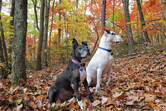 somethin's in there thar woods (csnyder103) Tags: autumn color fall dogs leaves season woods ears bailey attention petey rescues pitties canong7x