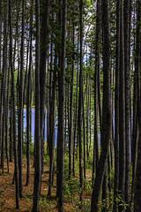 DSC_2432-EditFAA (john.cote58) Tags: trees lake canada mountains color nature water pine forest landscape outside outdoors shoreline hidden shore alberta ripples bushes shrubs icefieldsparkway mistaya