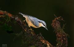 Nuthatch (Dean Eades - BirdMad) Tags: birds nuthatch birdmad deaneades