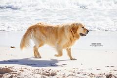 Doggy on a Mission (Dhiren Adatia) Tags: sea dog pet pets beach dogs water animals goldenretriever labrador waves paddle perth beaches splash alsatian westernaustralia dogbeach lovingpets