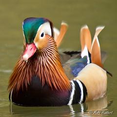 101102_154900.jpg (marc1bert) Tags: oiseaux faune canardmandarin oiseauxdeau