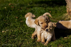 IMG_0994 (donniefalcone) Tags: dog cute dogs animals puppy puppies labrador