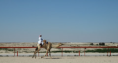 doha camel race (28) (Parto Domani) Tags: animal animals race radio robot corse arabic east camel arab oriente practice middle peninsula medio animali animale  doha qatar corsa arabica cammello  arabo penisola dromedario araber     cammelli  dromedari