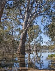 "Corowa Flooded Forest 3 • <a style=""font-size:0.8em;"" href=""http://www.flickr.com/photos/141572193@N06/29722429193/"" target=""_blank"">View on Flickr</a>"