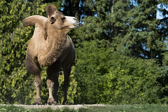 Bactrian Camel 07 (cypher40k Photography) Tags: color colour nikon bactriancamel toronto torontozoo zoo