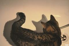 shadow chaser (Behni88) Tags: cat katze kot chat fell siersc furry ears ohren uszy schwanz ogon schwarz black czarny noir brown braun brazowy marron wanne bathtub bath bad lazienka woda wasser water chasing jagen gonic hunt shadow schatten cien white weis bialy miau miauczyc zabawa spiel spielen jagd game play playing