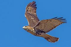 Red-Tailed Hawk Juvenile (Bill7870) Tags: bird boundrycreekpark canon canon400mmf4do canon7dmk2 geotagged nature newjersey nj rancocascreek redtailedhawk hawk