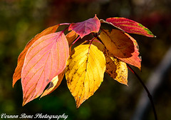 Autumn Beauty (vernonbone) Tags: 2016 500mm autumn d3200 eastpoint eastpointpark lens november ontario raptor closeup colors landscape nikon outside park red reddish sigma street