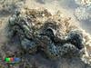 Fluted giant clam (Tridacna squamosa) (wildsingapore) Tags: pulau jong tridacnidae bivalvia mollusca tridacna squamosa singapore marine coastal intertidal shore seashore marinelife nature wildlife underwater wildsingapore
