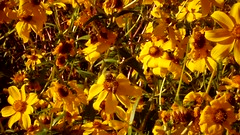 autumn flowers along the river (EllenJo) Tags: pentaxqs1 october17 2016 ellenjo ellenjoroberts pentax lowertapco clarkdaleaz verderiver toothleafgoldeneye blooms autumnninarizona video movie digital october clarkdale arizona verdevalley riparian 86324 autumninarizona autumninaz