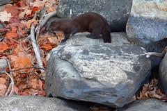 Mink (Steve Liffmann) Tags: mink