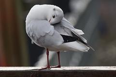untitled (robwiddowson) Tags: blackheadedgull gull gulls bird birds animal animals nature natural robertwiddowson photo photograph photography image picture