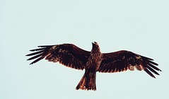 : A Black Kite in Flight (Jon-F, themachine) Tags: milvus migrans milvusmigrans jonfu 2016 olympus omd em5markii em5ii em5mkii em5mk2 em5mark2  mirrorless mirrorlesscamera microfourthirds micro43 m43 mft ft      snapseed japan  nihon nippon   japn  japo xapn asia  asian fareast orient oriental aichi   chubu chuubu    gamagori outdoors  nature  animal animals   fauna birds bird  birdie birdy blackkite