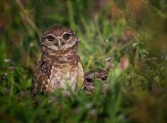 Forever Young (Kathy Macpherson Baca) Tags: animal animals bird birds owl owls burrowingowls florida endangered fledgling babies nestlings cute raptor hunter burrow earth planet world wildlife fly hunt small nature