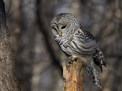 Chouette rayée / Barred owl (16-11-24) (Sylvain Prince) Tags: strixvaria