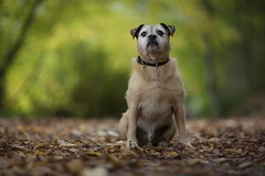 Sit up Straight! (Ben Lockett) Tags: portrait 12 light autumn woodland forest woods blur 85lii 5d canon terrier lakeland border pet pugcross pug outdoor puppy birty colours yellow orange green bokeh knyp animal dog