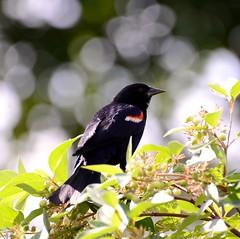 Jet black bokeh (vinnie saxon) Tags: black bird bokeh nature park wildlife nikoniste nikon d600 tree