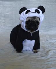 Boo The Panda Pug (DaPuglet) Tags: pug pugs dog dogs puppy puppies pet pets animal animals panda costume halloween cute bear