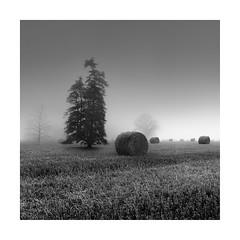 ooooo (Nick green2012) Tags: tree bales straw landscape mist square blackandwhite