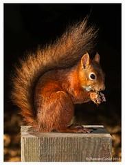DS0D7937-Red-Sqirrel,-sciurus-vulgaris (duncancooke.happydayz) Tags: red squirrel woodland wildlfe wildlife uk british cute animal animals mammals mammal native sciurus vulgaris photo border outdoor natue