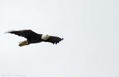 _DSC4922 (alan.forshee) Tags: bald eagle red tailed hawk raptor bird prey predator hunt fish fly soar flight feather sky