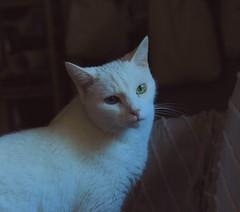 Charlie in an old dutch painting (rootcrop54) Tags: charlie allwhite white male cat dutchmasters painter painting macska kedi  koka kissa  kttur kucing gatto  kais kat katt katzen kot  maka maek kitteh chat