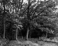 Entrance (Hyons Wood) (Jonathan Carr) Tags: trees ancientwoodland black white gate monochrome path track fence toyo45a 4x5 5x4 rural northeast landscape hyonswood