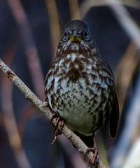 """Sooty"" Fox Sparrow--Passerella iliaca unalaschensis (Polioptila caerulea) Tags: sootyfoxsparrow foxsparrow passerellailiacaunalaschensis littontrail grassvalley nevadacounty fosp passerella passerellailiaca"