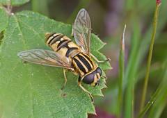 F40720-723-Common Tiger Hoverfly (Helophilus pendulus) (DJHiker) Tags: nlhaterseven macro fly hoverfly vlieg zweefvlieg nederland thenetherlands diptera