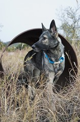 20161113-DSC_0973 (Kaiguin17) Tags: german shepherd dog silver sable east czech post apocolypse protector working bitch oswin run clever girl tunnel monochromatic