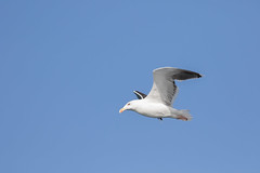Great Black Backed Gull #5 (scilly puffin) Tags: larus gull islesofscilly