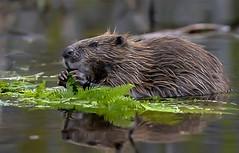 Bever - Eurasian beaver - Castor fiber (Foto by Yves) Tags: mammalia zoogdieren rodentia knaagdieren castoridae beverachtigen hutfotografie shelterphotographie 400mm l 28 september 2016