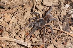 IMG_1451 Veracruz - Theraphosinae (fabianvol) Tags: macro mexique mexico prairie grassland pastizal animal arachnida arachnid arachnide arácnido araignée spider araña mygale tarantula