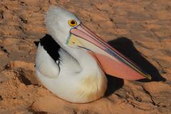 An Australian pelican DSC_0632 (Tartarin2009 (travelling)) Tags: tartarin2009 australia monkeymia pelican travel nikon d80 wildlife beach
