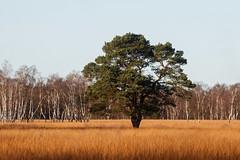 Steppenlandschaft in Norddeutschland (Lilongwe2007) Tags: hamburg duvenstedter brook ohlstedt sumpf moor natur landschaft bume pflanzen grser birken moorbirken einzelbume solitr wiesen lichtung