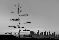 LA Agave 1.2 (donminer) Tags: art blackwhite hollywood losangeles cityscape skyline agave buildings hills clouds sky tree