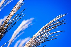 Blowing in the wind (vinnie saxon) Tags: plant nature bluesky wind blowing nikoniste nikon d600 detail