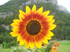 A_Sunflower_in_the_lovely_garden_at_La_Chapelle (Abbey_L) Tags: alps day4restdaygorgesdestines flower france frenchalps outbreakadventure samoens sunflower tjpio