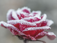 Rosenzucker (saba1312) Tags: frost rose rot