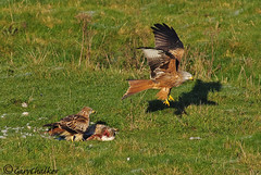 Red Kite (Gary Chalker, Thanks for over 2,000,000. views) Tags: redkite kite pentax k5 pentaxfa600mmf4edif fa600mmf4edif